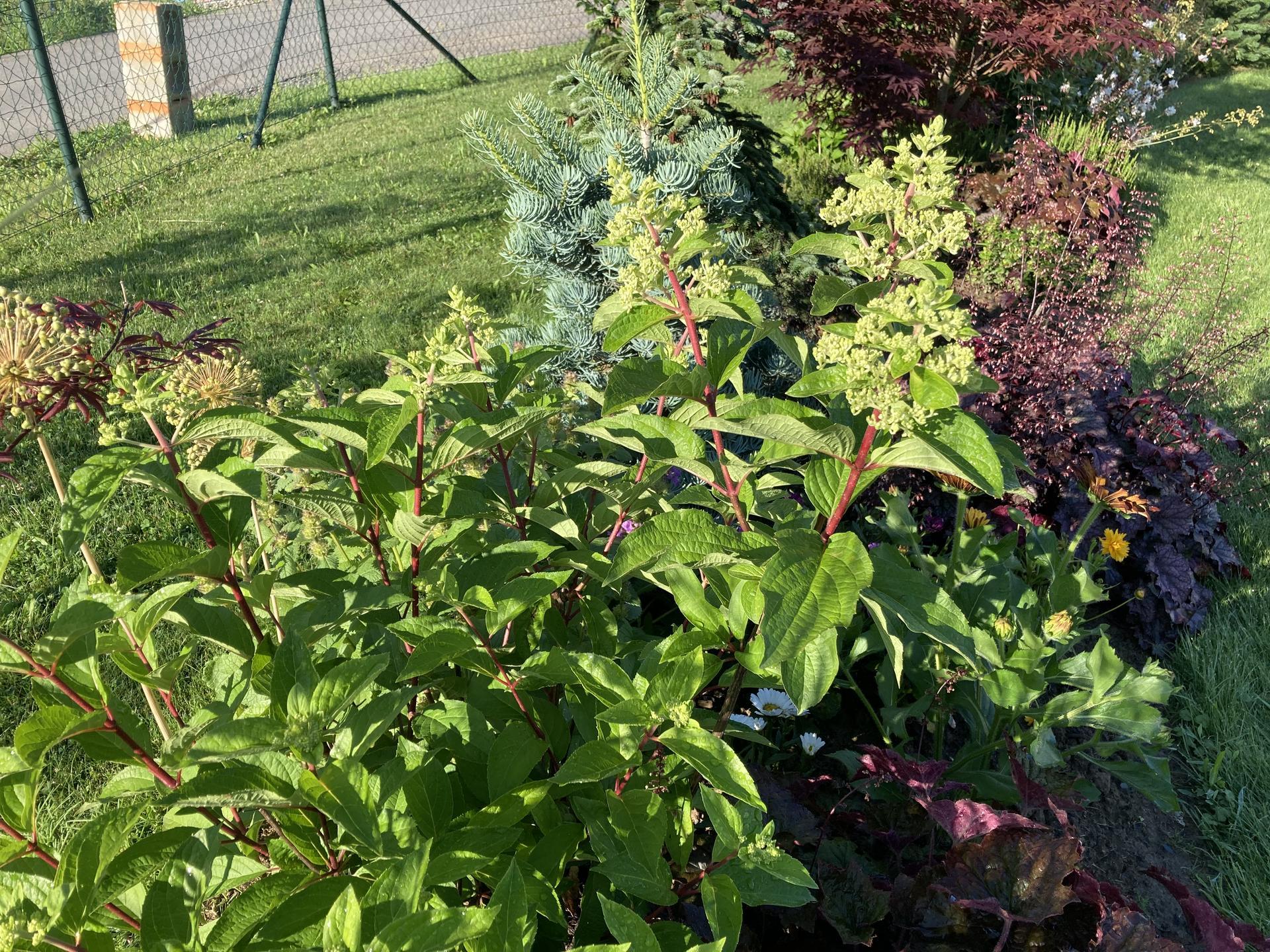 Šestý rok zahradničím - hortenzie latnatá bude mít letos ještě víc květů