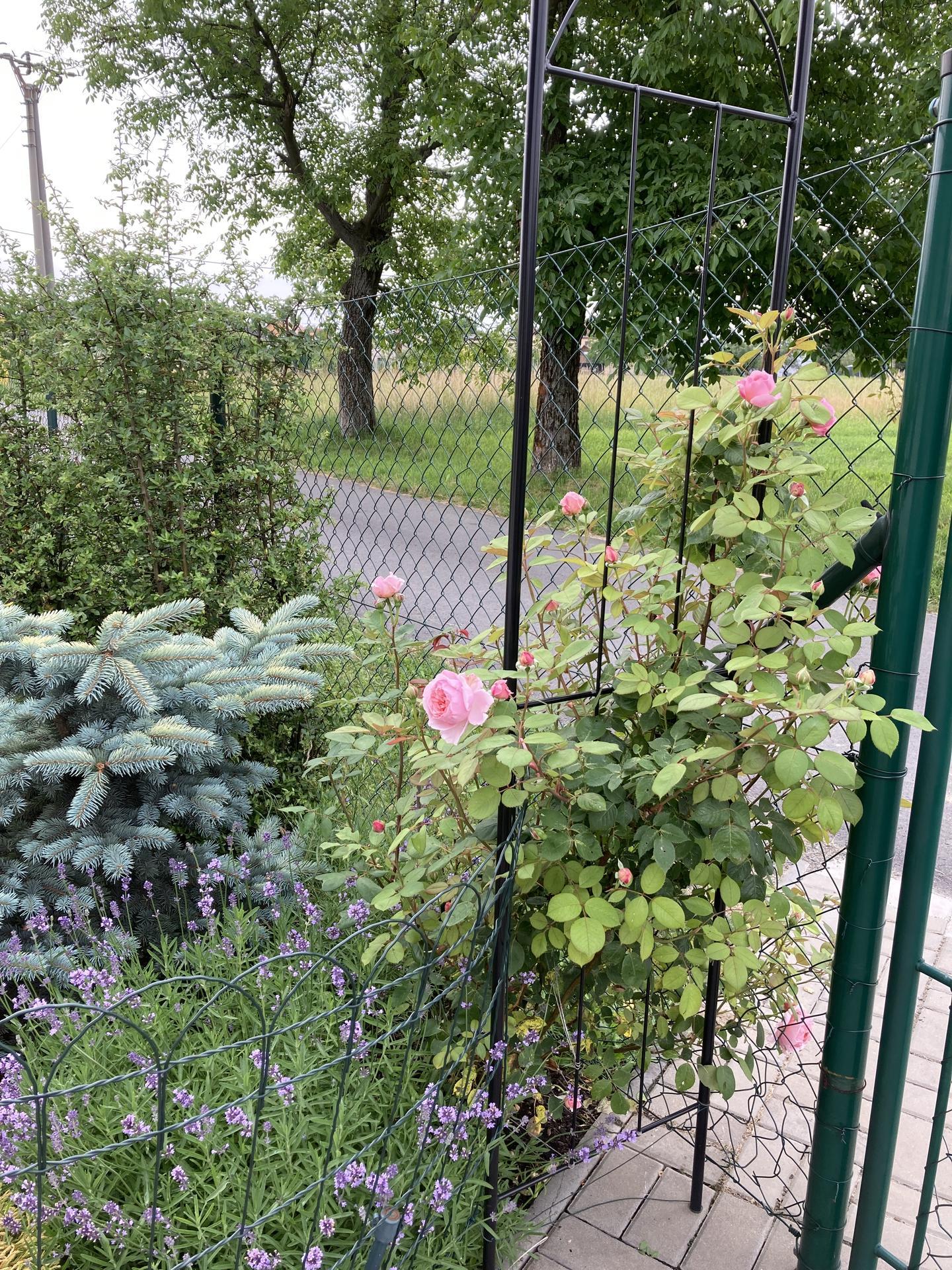 Šestý rok zahradničím - nemůžu se dočkat až růže obroste celé loubí