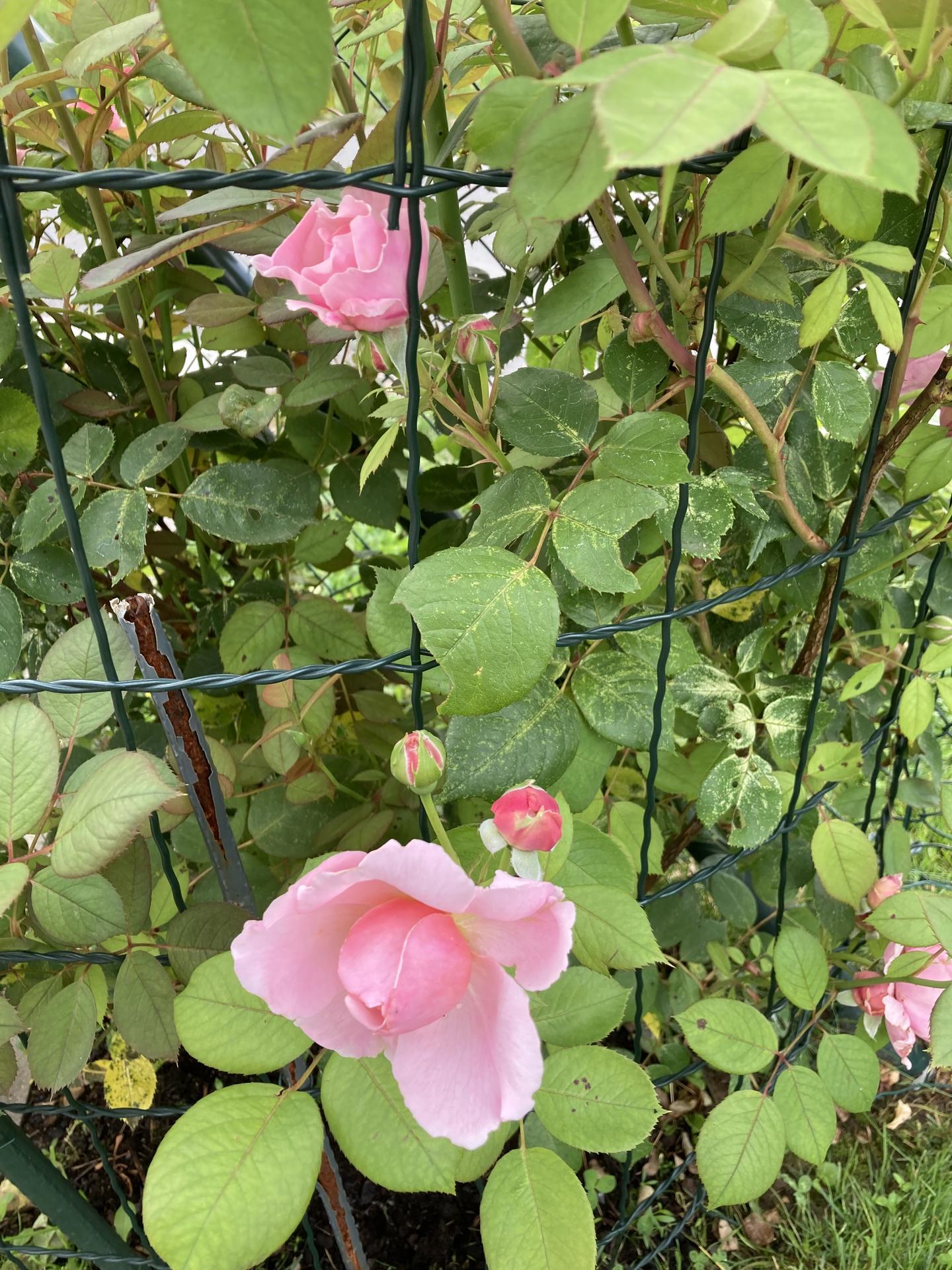 Šestý rok zahradničím - Obrázek č. 88