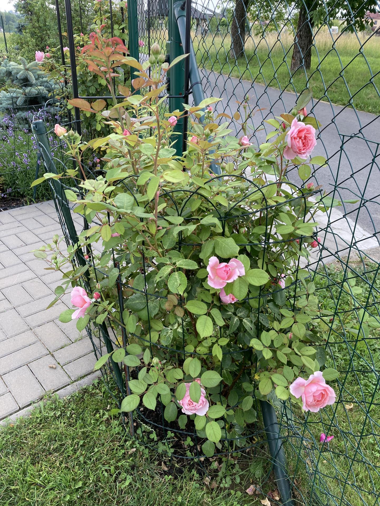 Šestý rok zahradničím - Obrázek č. 89