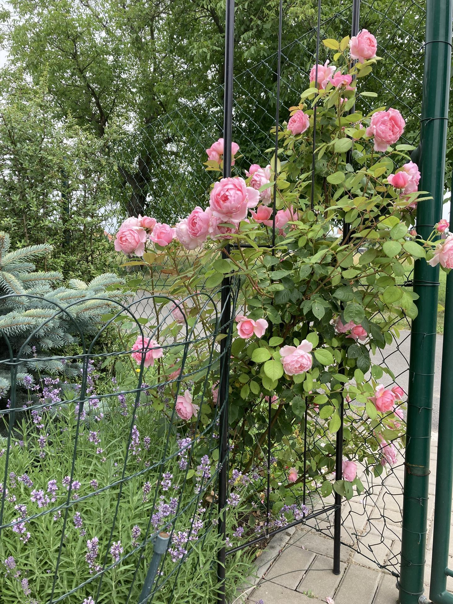 Šestý rok zahradničím - Obrázek č. 94