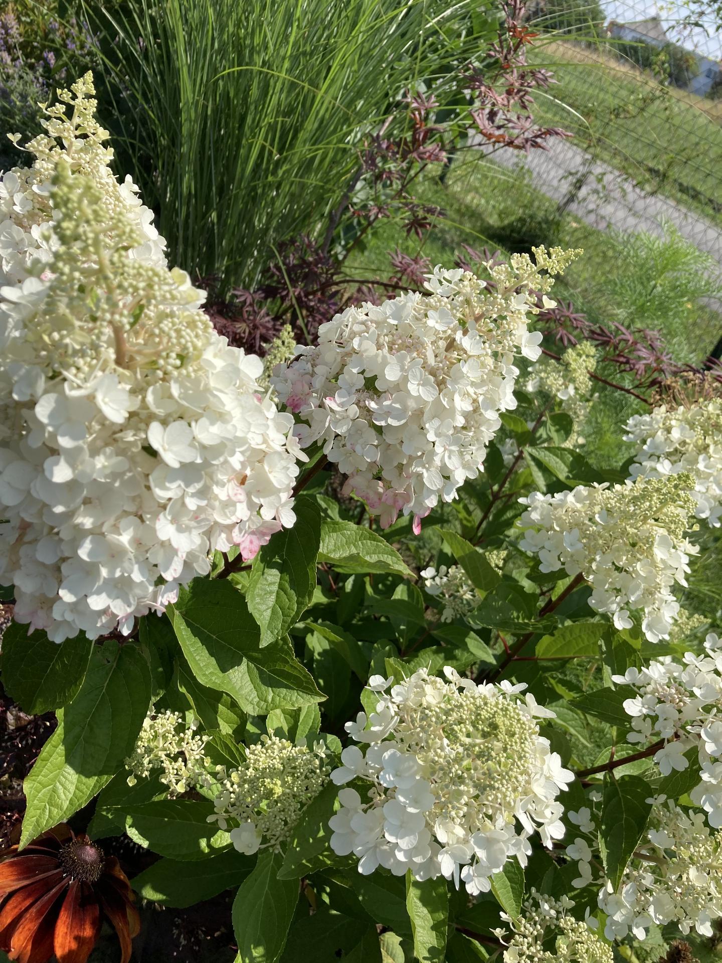 Šestý rok zahradničím - Květy začínají růžovět :)
