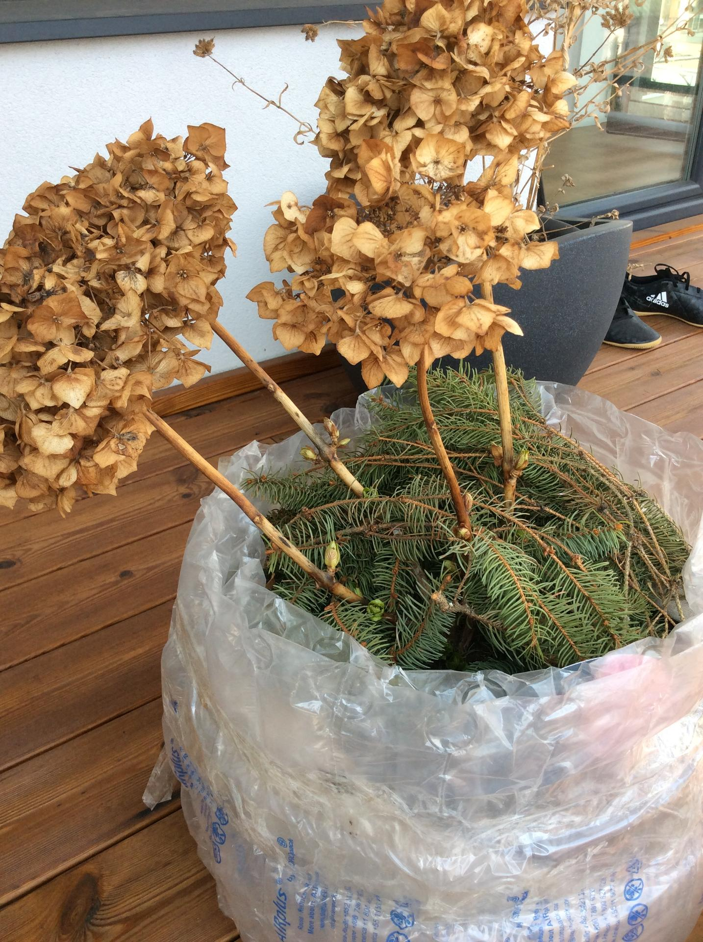 Dobrý deň, prosím poraďte čo s hortenziou, začína pukať, tie kvety som na jeseň neostrihala.... ďakujem - Obrázok č. 1