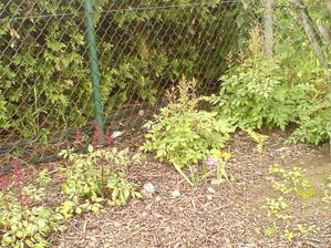 9.6.2012 konečně vykvetly i malé okrasné česneky (z 10 přežily 3)