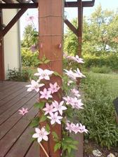 loni na podzim zasazená clematis , na jaře zaštípnutá na 20 cm