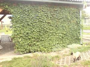 loni v dubnu 2011 jsem sadila a letos v září 2012 je už zcela treláž stání zarostlá