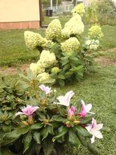 6.9.2012 kvete rododendron a za ním hortenzie latnatá