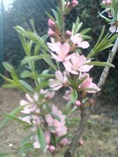mandloňové květy