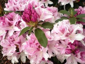 rododendron cheer loni kvetl v září