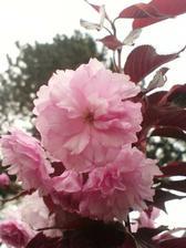 """Prunus serrulata """"Royal Burgundy""""   loňský slevový kup :-)"""