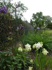 orlíčky, z těch mám opravdu radost neb jsou ze semínek zasetých koncem léta 2011