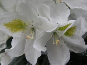 bílý rododendron.... vykvetl a zároveň květy schoval pod nové výhonky