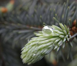 stříbrný smrček...... mám pocit, že letos budou všechny fotky jen s kapkami deště