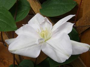 clematis - letošní první květ