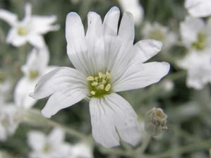 rožec plstnatý