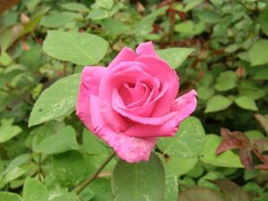 dnes konečně zasvítilo sluníčko a popínavá růže konečně rozkvetla,,,,, škoda, že se nedá vyfotit vůně