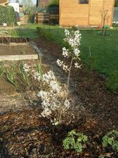 """muchovník """"Prince William"""" letos obsypaný květy.... napočítala jsem kolem 40 lat a na každé kolem 10 kvítků"""