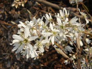 květy muchovníku