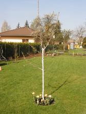 na podzim švagr dovezl cibule holandských tulipánů.... tak jsme to zkusili... dlouho se jim nechtělo na sluníčko
