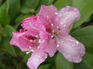 9.4. první rododendronový květ nebo spíš už 2