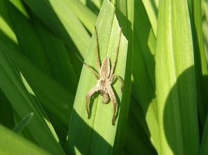 jasný důkaz pro má dítka, že jsou pavouci užiteční ;-)