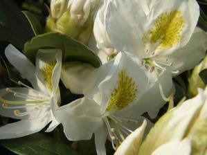 a ještě bílý rhododendron kvete