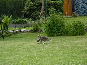 naše kočka přistižená jak stěhuje koťata od našich sousedů vpravo zpět k sousedům vlevo.... paní sousedka vlevo totiž začala vykrmovat naše kočky (asi něčím hodně dobrým) Tina se jí tam okotila
