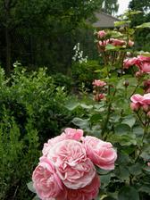 růže mi dělají radost ikdyž se zdálo, že je letos snad mšice ožerou