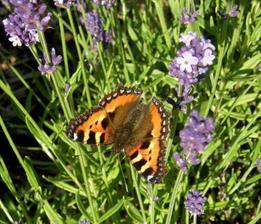 na záhon s levandulema a echinaceou přilétají první motýli...... babočka kopřivová