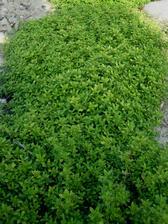 mateřídouška co lemuje zeleninové záhony je vyšší, světle zelená a dlouho nekvetla