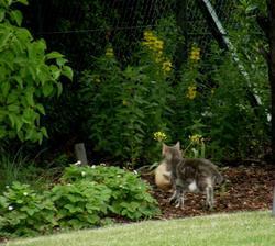Ještě jeden přímý přenos ...kotěte.... a vrbina pod slivoní kvete, měsíční jahody lemují záhon s keři a začínají zrát