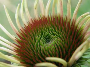 echinacea v přípravě :-)