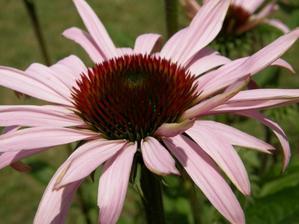 žůůůžováááá  :-) echinacea