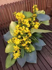 zkouška jak dlouho vydrží listy hosty napíchané do florexu, vrbina zrovna kvetla...... hosty vydrží, vrbina ne