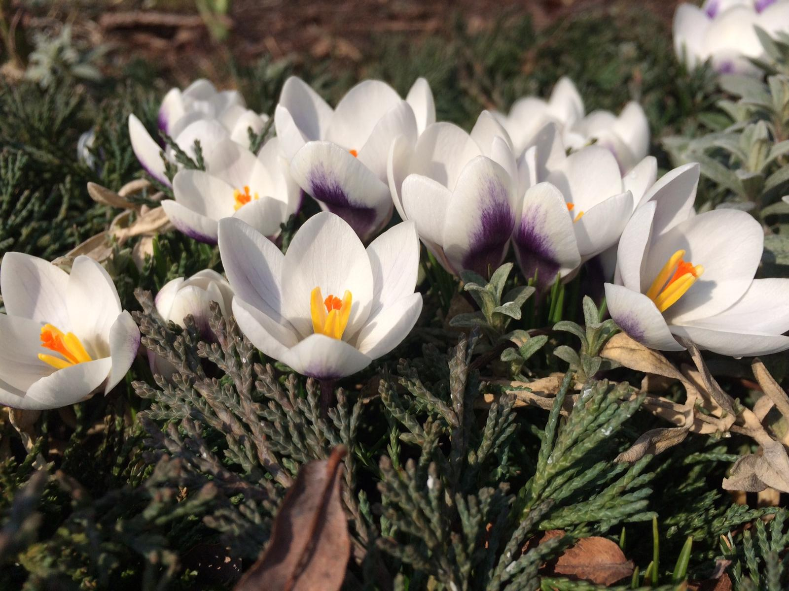 Zahrada 2018 - krokusy - moji oblíbení poslové jara