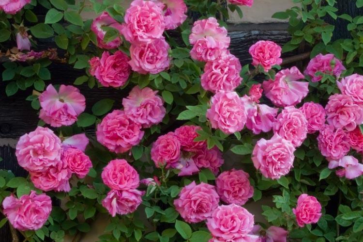 Zéphirin Drouhin - těším se a doufám, že zase kráseně bohatě pokvete