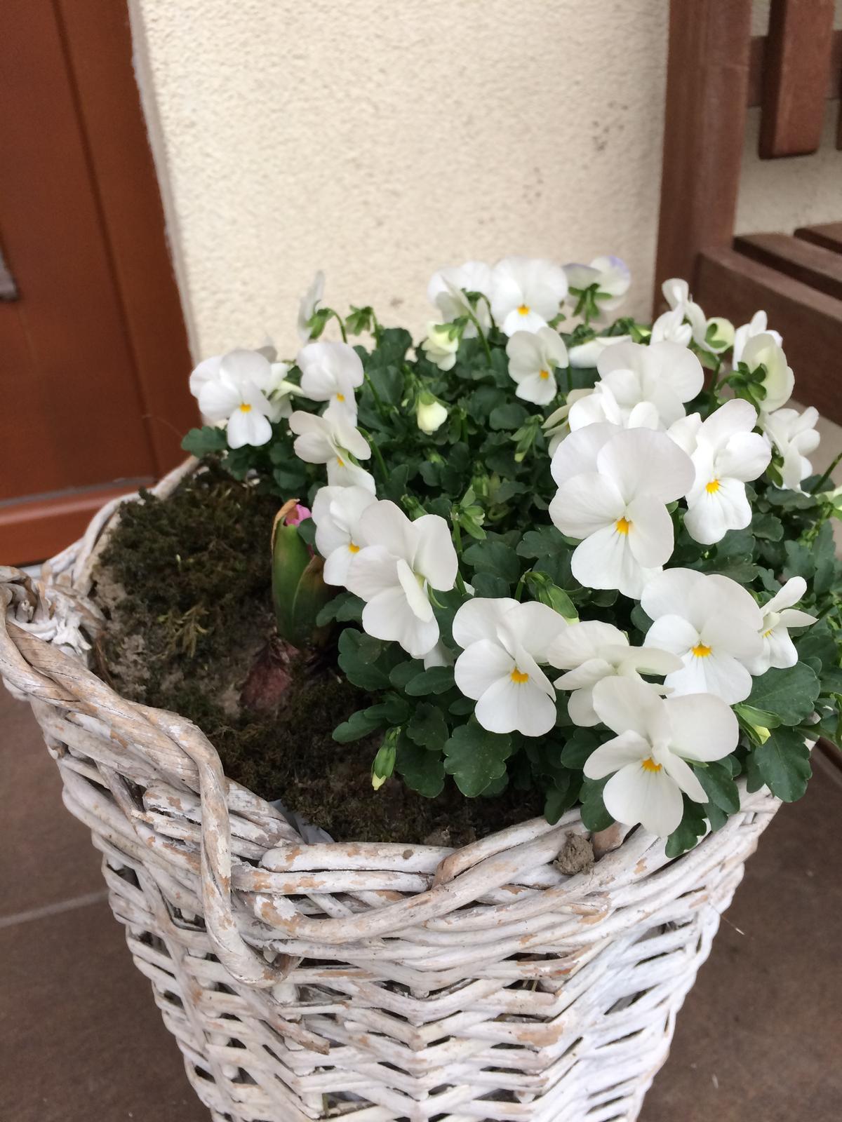 Zahrada 2018 - Konečně rozkvetly podruhé. Ty první květy ožralo to naše bílé býložravé pesisko.