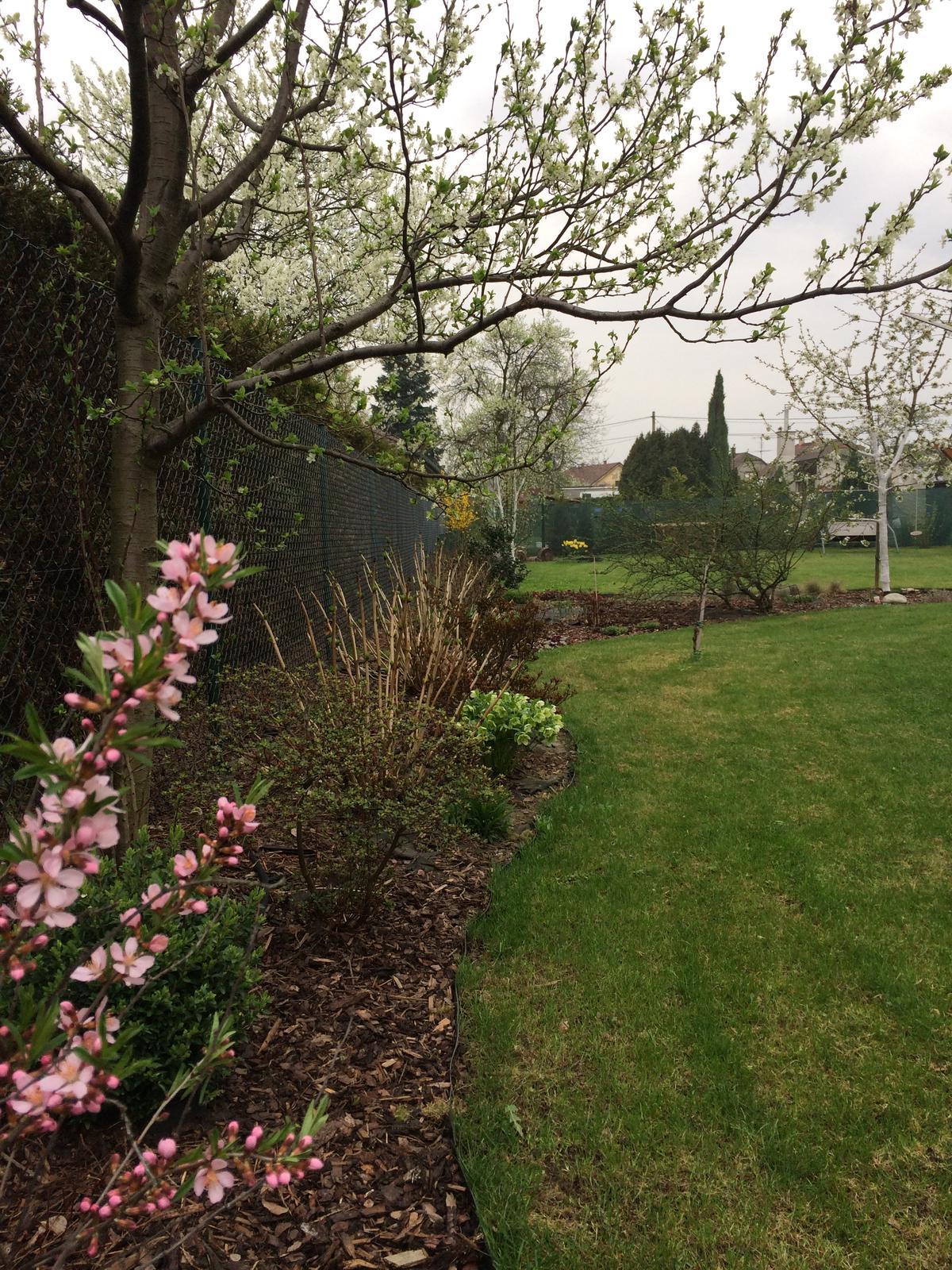 Zahrada 2018 - po víkendu už rozkvetly i mandloň s třešní a začíná i švestka