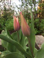 """první tulipány .....na podzim jsem poprosila muže o zrytí krajního zahonku...ještě mu říkám ať to nesplete, že v tom druhém mám tulipány......no zryl to, zryl """"na jedničku"""" 😁 tulipánů asi letos moc nebude"""