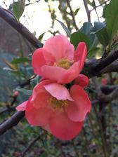 Květy kdoulovce