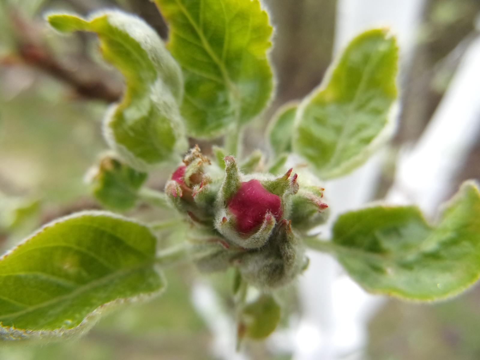 Zahrada 2018 - sloupovitá jabloň brzy rozkvete