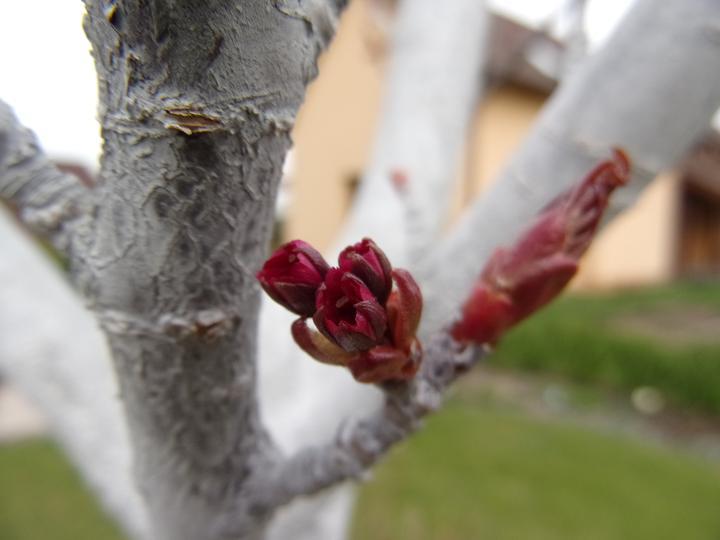 Sakura nabírá na květ