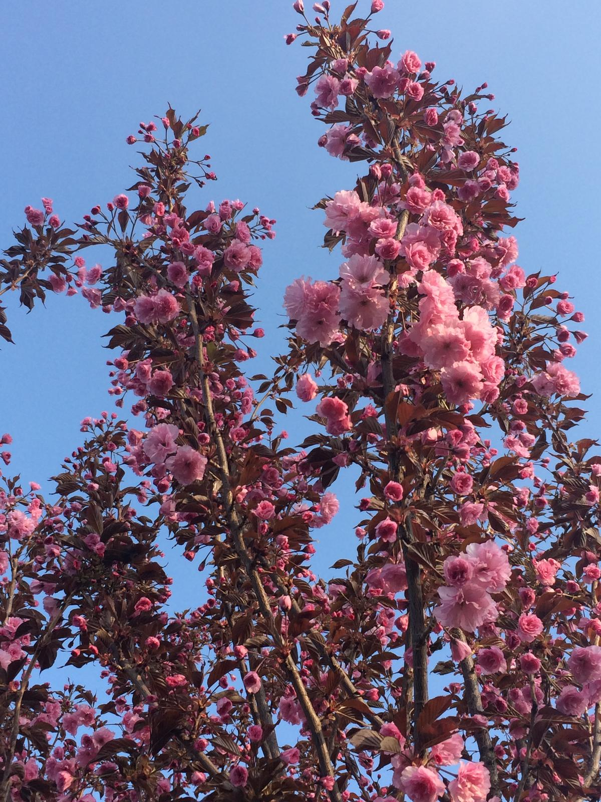 Zahrada 2018 - Letos je sakura obsypaná květy