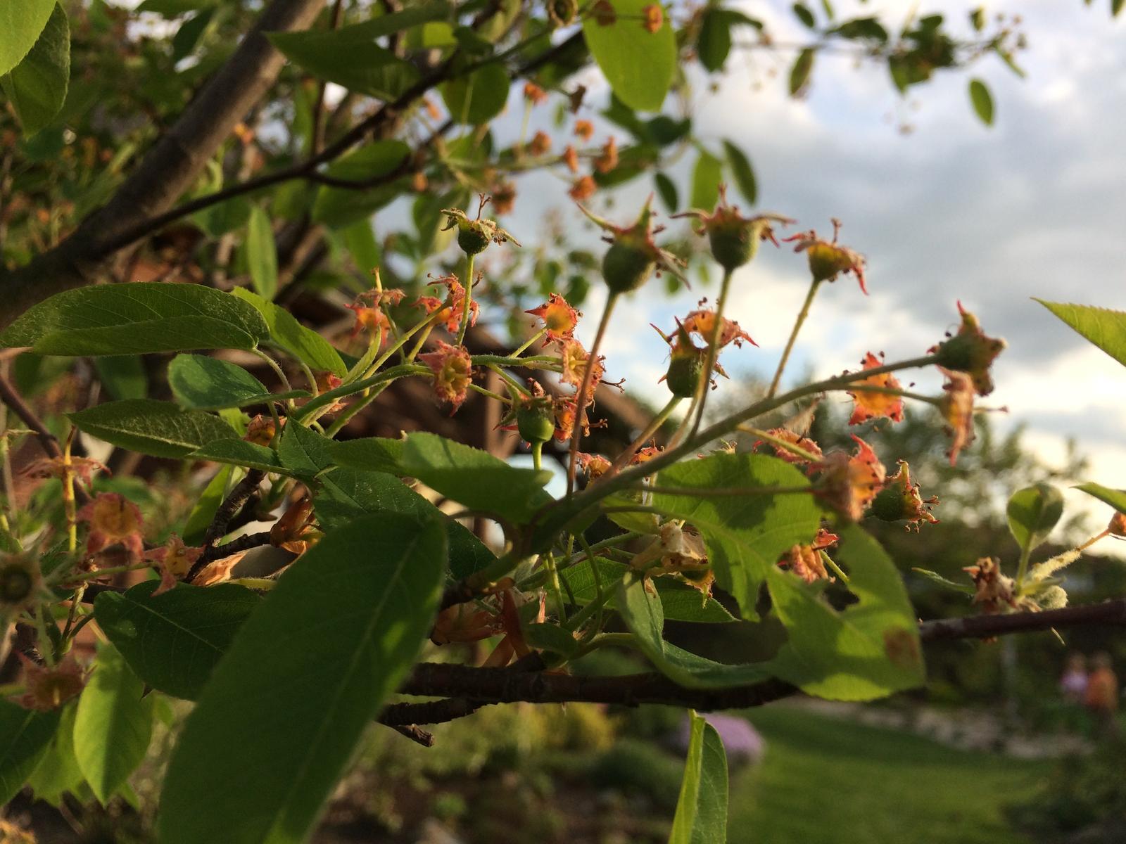 Zahrada 2018 - Plody muchovníku ... tzv. Indiánské borůvky