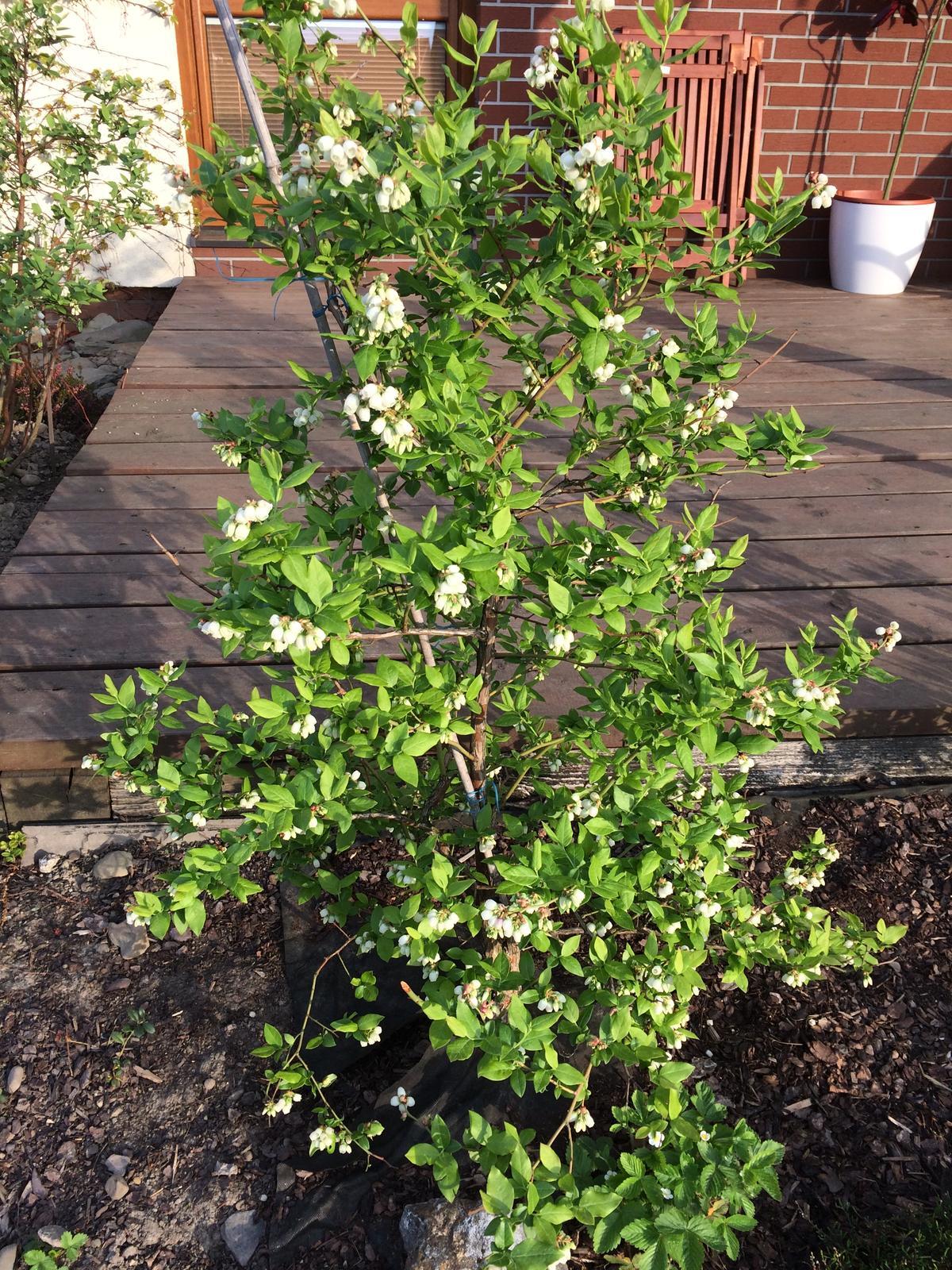 Zahrada 2018 - blueberry hill In bloom.. borůvky už rozkvetly