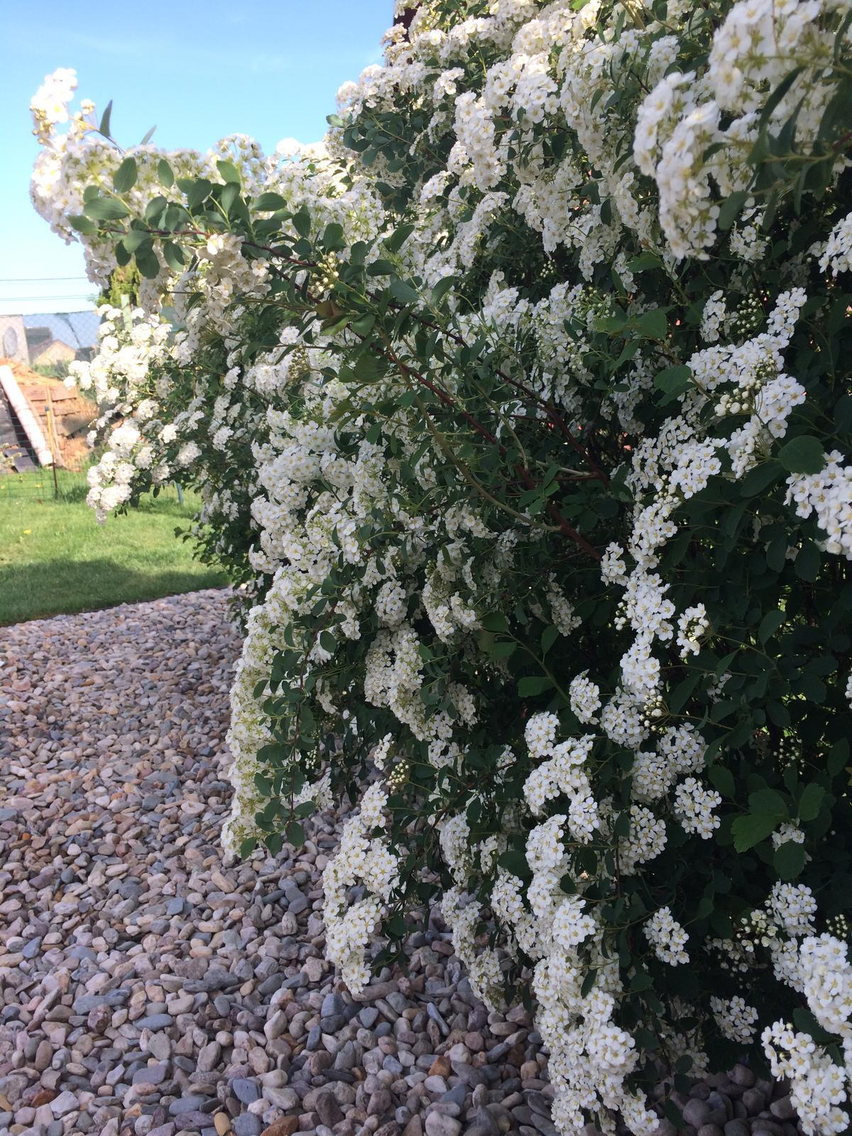 Zahrada 2018 - tavolník van Houtteův (Spiraea vanhouttei)