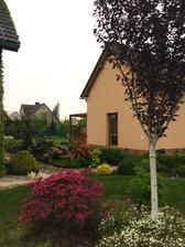 růžový ´ronďák´ už odkvetl, zato přibyla oranžová azalka, vzadu začíná nabírat na květ bílý rododendron a pod sakurou trpasličí ´ azalka