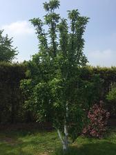jabloň kupovaná jako CAT (column apple tree) dnes má víc jak 2 m .....