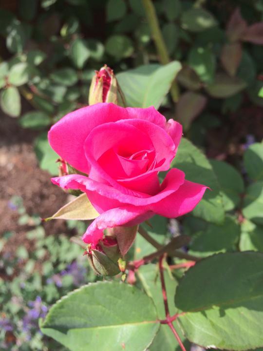 Pomalinku po jednom květu a už voní o 106.