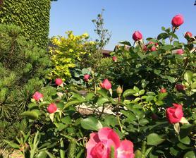 Růže v předzahrádce
